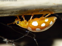 Halyzia sedecimguttata - Orange Ladybird