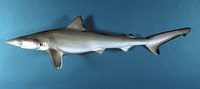 Rhizoprionodon terraenovae, Atlantic sharpnose shark: fisheries, gamefish