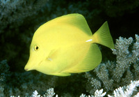 Zebrasoma flavescens, Yellow tang: aquarium