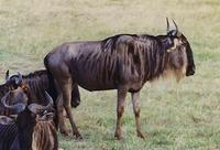 Image of: Connochaetes taurinus (blue wildebeest)