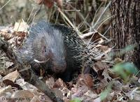 Image of: Hystrix indica (Indian crested porcupine)