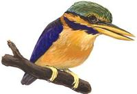 Image of: Actenoides concretus (rufous-collared kingfisher)