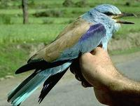 Image of: Coracias benghalensis (Indian roller)