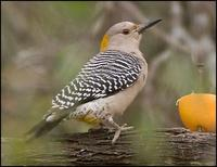 Image of: Melanerpes aurifrons (golden-fronted woodpecker)