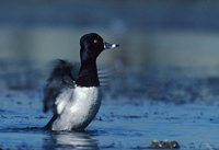 Ring-necked Duck (Aythya collaris) photo