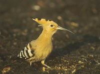 Eurasian Hoopoe (Upupa epops) photo