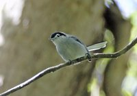 Tropical Gnatcatcher - Polioptila plumbea