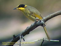 Yellow-tufted Honeyeater - Lichenostomus melanops