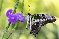 Tailed jay butterfly Graphium agamemnon stock photo