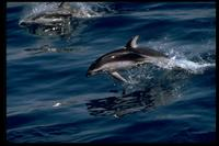 Pacific White-Sided Dolphin 314029.jpg (91733 bytes)