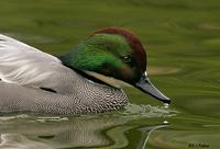 Falcated Duck, Escondido, CA