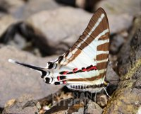 : Graphium aristeus; Five-barred Swordtail