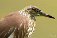 Chinese Pond Heron 池鷺