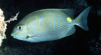 Siganus lineatus, Golden-lined spinefoot: fisheries, aquarium