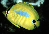 Chaetodon plebeius, Blueblotch butterflyfish: fisheries, aquarium