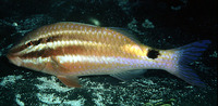 Parupeneus spilurus, Blackspot goatfish: fisheries