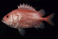 Ostichthys japonicus, Brocade perch: fisheries