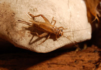 Acheta domestica - House Cricket