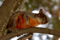 Sciurus aureogaster - Red-bellied Squirrel