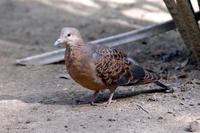 Image of: Streptopelia orientalis (Oriental turtle-dove)