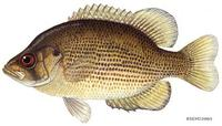Image of: Ambloplites rupestris (rock bass)