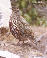 Snow Partridge - Lerwa lerwa