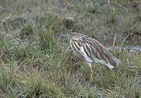 Madagascar Pond-Heron (Ardeola idea) photo