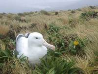 (Southern) Royal Albatross (Diomedea epomophora epomophora) photo