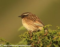 Black-throated Accentor - Prunella atrogularis