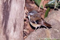 Gray-headed Robin - Heteromyias albispecularis
