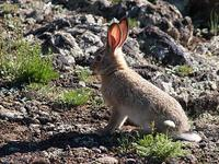 photo - Central Asian hare, Lepus tolai