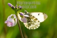 ...Orange Tip Butterfly ( Anthocharis cardamines ) on Ladies Smock cuckoo flower ( 07 3680 ) stock
