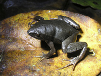 : Gastrophryne pictiventris; Southern Narrow-mouthed Toad