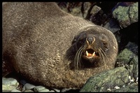 : Arctocephalus gazella; Antarctic Fur Seal