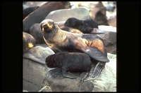 : Callorhinus ursinus; Northern Fur Seal