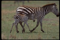 : Equus burchellii; Plains Zebra