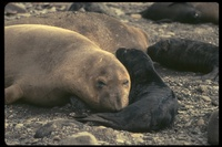 : Mirounga angustirostris; Northern Elephant Seal Pup
