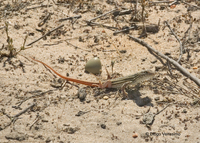 : Acanthodactylus erythrurus; Spiny-footed Lizard