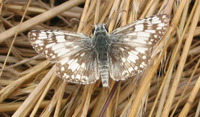 : Pyrgus albescens; Checkered Skipper