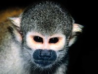 photograph of a common squirrel monkey : Saimiri sciureus