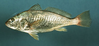 Micropogonias undulatus, Atlantic croaker: fisheries, gamefish
