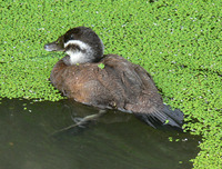 Oxyura leucocephala - White-headed Duck