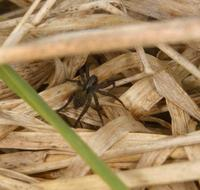 Image of: Pirata (lycosid spiders)