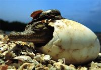 Photo: An American crocodile emerging from its eggshell
