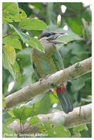 Red-vented Barbet - Megalaima lagrandieri