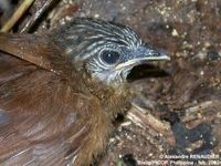 Brown Tit Babbler - Macronous striaticeps