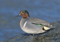 Green-winged Teal (Anas crecca) photo