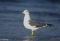Black-tailed Gull (Larus crassirostris) photo