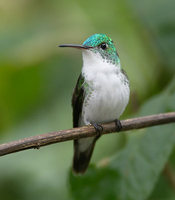 Andean Emerald (Amazilia franciae) photo