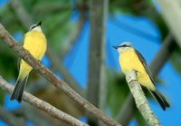 White-throated Kingbird - Tyrannus albogularis